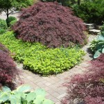 Speciman Maple Planting