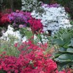 Azelea Planting