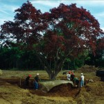 maple tree ball planting